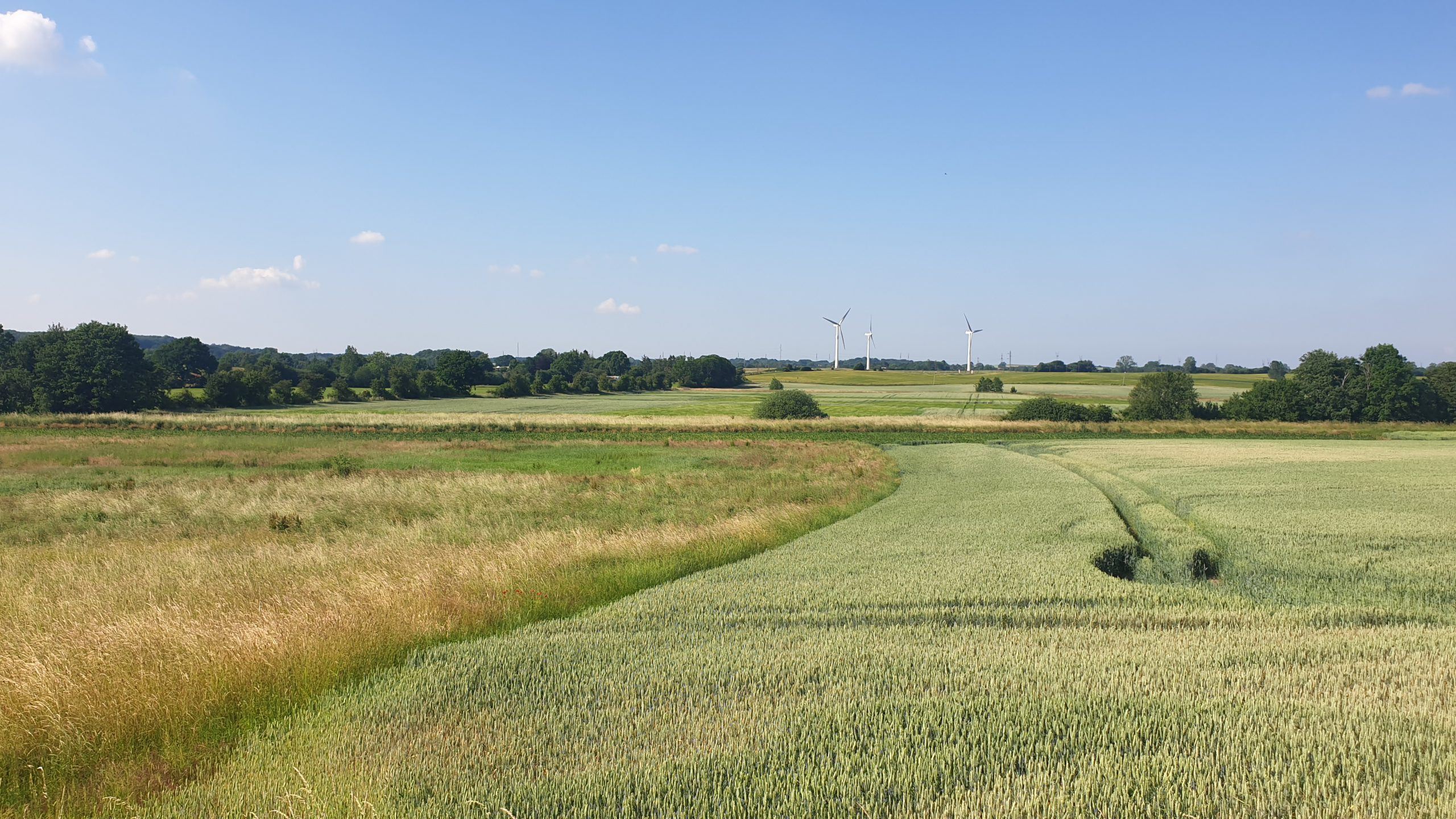 Sunlit field under blue sky with three white windturbines in the background